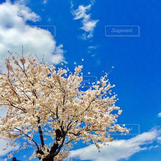 No.428181 桜