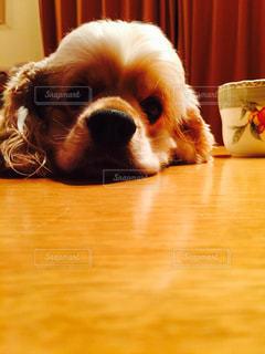 犬,テーブル,ペット,寝顔,アメリカンコッカースパニエル