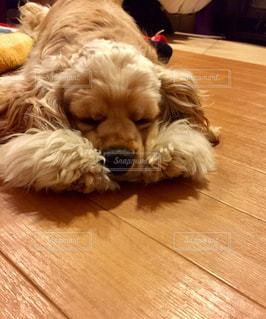 犬,ペット,寝顔,アメリカンコッカースパニエル