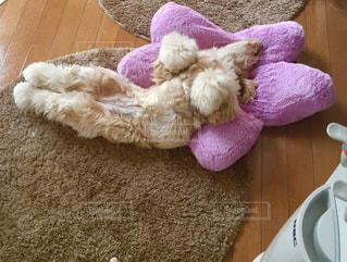 犬,昼寝,星,爆睡,犬の寝顔,あおむけ