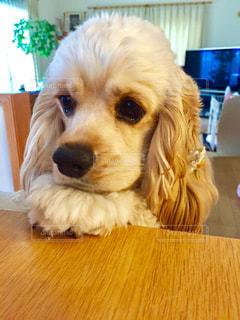 テーブルの上に座っている犬 - No.974650