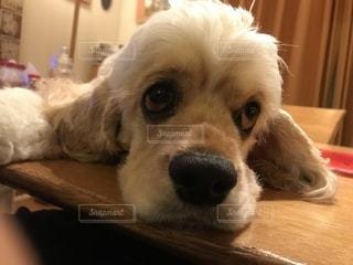 茶色と白の犬をテーブルの上に座っての写真・画像素材[1185611]