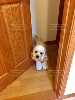 ドアから入って来る犬の写真・画像素材[1185633]