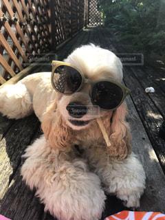 サングラス犬の写真・画像素材[1185640]