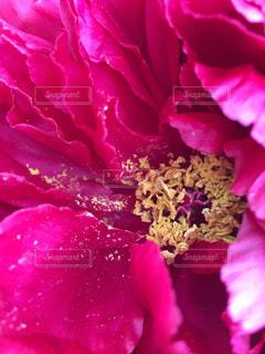 ピンク,花びら,牡丹,ピンク色