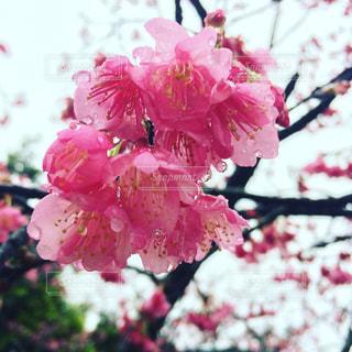 No.428675 桜