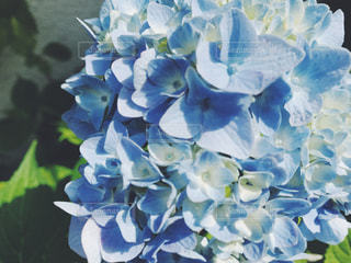 花,雨,梅雨,朝顔