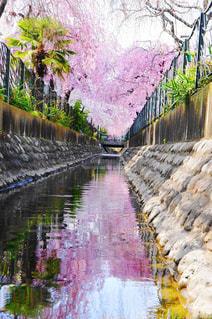 春,桜,ピンク,青空,散歩,川,花見,シダレザクラ,二ヶ領用水