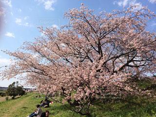 春,桜,ピンク,青空,散歩,川,花見,土手,二子玉川,多摩川,ソメイヨシノ
