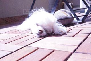 犬の写真・画像素材[474263]