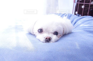 犬の写真・画像素材[485713]