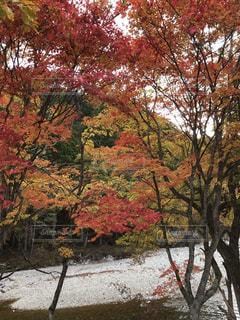 紅葉,もみじ,落ち葉,樹木,楓,岐阜,飛騨高山,高山,飛騨,色合い,紅葉狩り,カエデ,せせらぎ街道