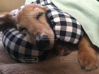 ベッドの上で横になっている茶色と白犬の写真・画像素材[992986]