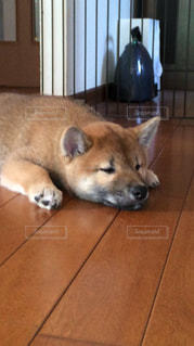犬,ペット,寝顔,柴犬,ペットの寝顔