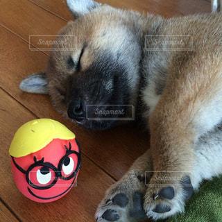 犬,ペット,寝顔,柴犬,和,和風,ペットの寝顔