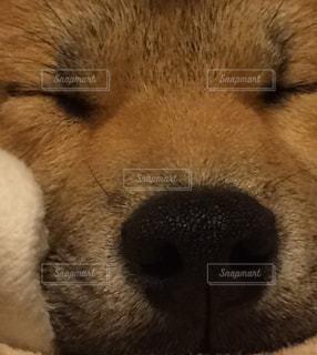 犬,ペット,寝顔,柴犬,和,和風