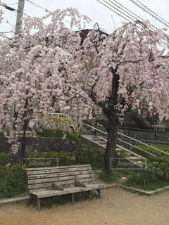枝垂れ桜,満池谷公園,春のベンチ