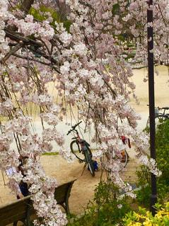 春,桜,自転車,お花見,サイクリング,のどかな風景,満池谷公園