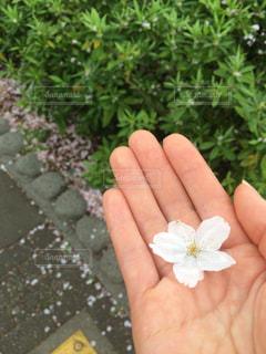 桜,目黒川,中目黒,さくら