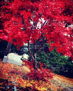 紅葉,木,神社,北海道,パワースポット,雨上がり,恋愛,樹,tree,神社仏閣,深川市,芽生神社,恋愛神社