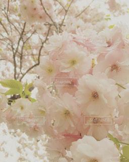 春,桜,北海道,松前,松前城