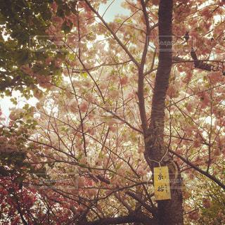 春,桜,北海道,松前,松前城,糸括