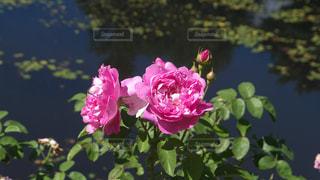 花の写真・画像素材[471018]