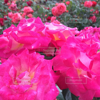 花の写真・画像素材[487879]