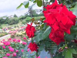 花の写真・画像素材[487887]