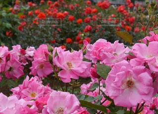 近くの植物にピンクの花のアップの写真・画像素材[880742]
