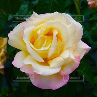 近くの花のアップの写真・画像素材[880744]