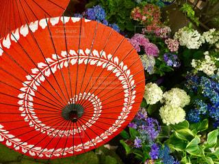 花,雨,傘,紫陽花,梅雨,草木