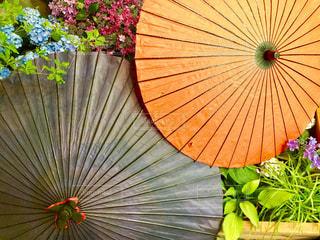 花,雨,傘,紫陽花,梅雨,草木,カサ
