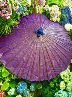 花,雨,カラフル,紫,紫陽花,梅雨,草木,ガーデン