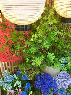 花,雨,提灯,紫陽花,梅雨,カサ