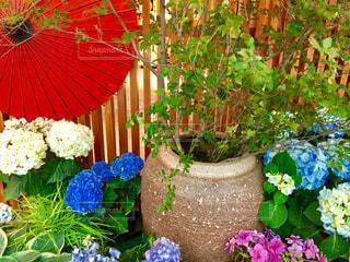 花,雨,傘,紫陽花,和傘,梅雨,水鉢,アジサイ,カサ