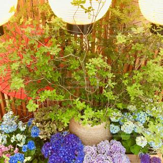花,雨,提灯,紫陽花,和傘,梅雨,水鉢,アジサイ