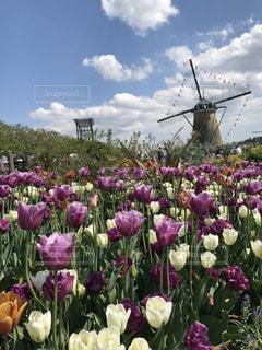 花,カラフル,風車,チューリップ,可愛い,佐倉