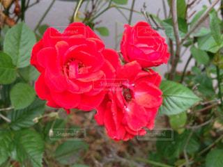 花の写真・画像素材[532554]