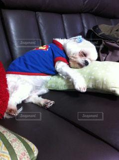 犬,マルチーズ,スーパーマン