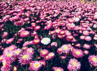 花,秋,ピンク,オーストラリア,フォトジェニック,インスタ映え,ボタニカルガーデン
