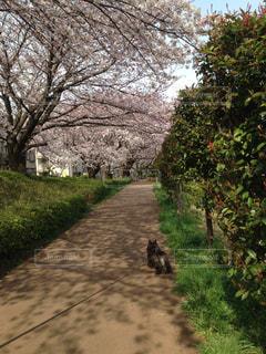 桜,散歩,道