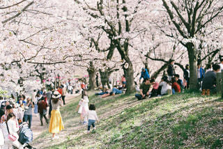 春,桜,花見,満開,土手,4月