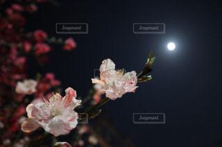 桜咲くの写真・画像素材[1122046]