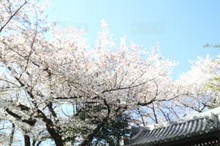 桜祭りの写真・画像素材[1122348]