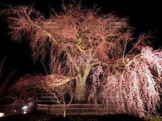 春,桜,京都,ライトアップ,イベント,KYOTO,Park,Spring,さくら,cherryblossom,円山公園