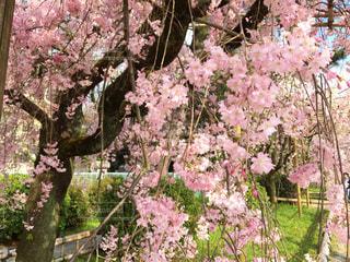 春,桜,京都,KYOTO,Spring,さくら,cherryblossom,半木,半木の道,北山,kitayama