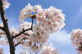 空,花,春,桜,ハート,flower,淡路島,♡,heart,Spring,さくら,cherryblossom,はーと