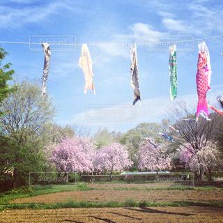 桜,花見,鯉のぼり,5月,風情,4月