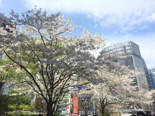 桜,渋谷,都会の桜